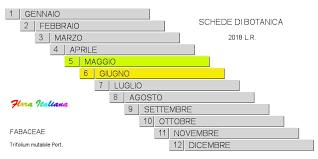 Trifolium mutabile [Trifoglio mutevole] - Flora Italiana