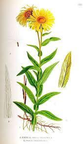 File:530 Inula salicina, I. ensifolia.jpg - Wikipedia