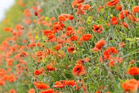Papaver rhoeas (Common Poppy)
