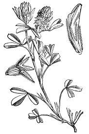 Trifolium squamosum – Wikipedia