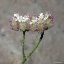 Torilis arvensis Calflora