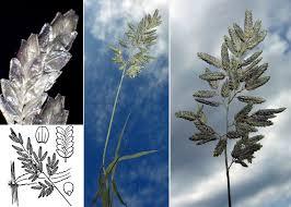Eragrostis cilianensis (All.) Vignolo ex Janch. subsp. cilianensis ...