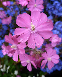 Silene dioica - Buy Online at Annie's Annuals