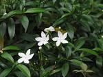 Images & Illustrations of crape jasmine
