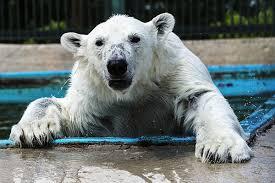 На <b>Севере</b> России нашествие белых <b>медведей</b>. Как от них ...