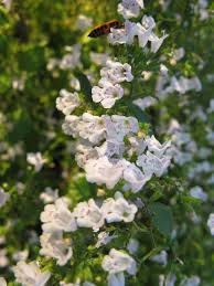 Clinopodium nepeta - Wikipedia