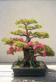 bonsai bonsai trees and trees on pinterest bought bonsai tree