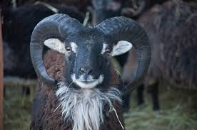 sheep essay do androids dream of electric sheep essay top quality research adz netzwerk horns the soay sheep chronicles when to trim soay ram horns and when to leave