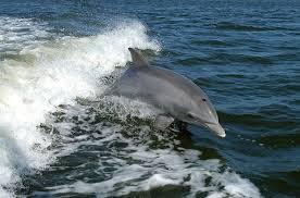 <b>Dolphin</b> - Wikipedia