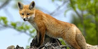 <b>Red Fox</b> | National Wildlife Federation