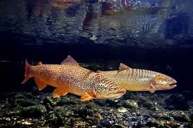Image result for images trout in river