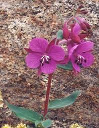 Onagraceae - Wikipedia
