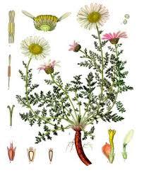 Anacyclus - Wikipedia