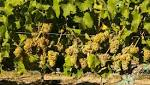 Northwest Wine: Riesling perfectly versatile for your holiday table