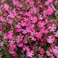 Silene Seeds - Silene Pendula Triumph Rose Flower Seed