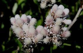 Antennaria parlinii - Michigan Flora