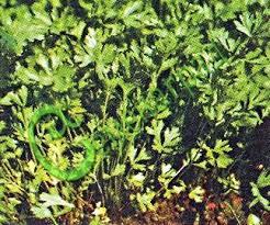 <b>Семена петрушки Петрушка</b> «<b>Урожайная</b>»