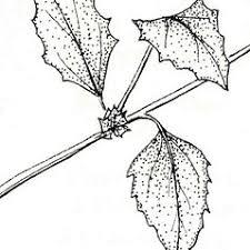 Atriplex rosea (red orache): Go Botany