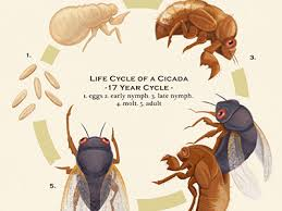 Image result for cicada life cycle