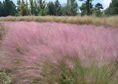 Image result for purple top grass