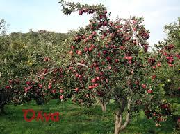 Αποτέλεσμα εικόνας για μηλια