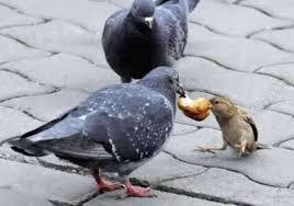 Risultati immagini per piccione e torta
