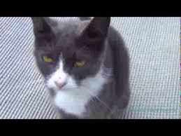 <b>Серая кошка</b> с желто-зелеными глазами - YouTube