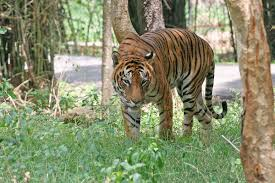 bengal tiger simple english the encyclopedia