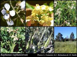 Raphanus raphanistrum L.: FloraBase: Flora of Western Australia
