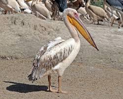 Great white pelican - Wikipedia