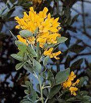 Anexo:Especies de Cytisus - Wikipedia, la enciclopedia libre