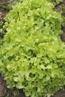 «<b>Семена салата</b> листового» — Дача, сад и огород — купить на ...