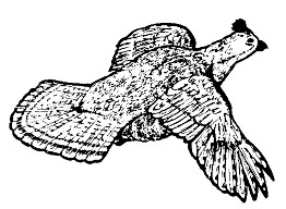 Small Picture RuffedGrouseDrawings Ruffed Grouse Drawing The finest ruffed