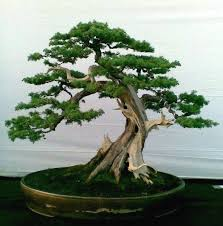 bonsai tree tattoo pin pictures magazine bonsai tree tattoo on pinterest bonsai tree
