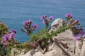 Centaurea aplolepa Moretti