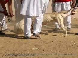 the voice of stray dogs fiapo tries to bust a multi million dog dog fight in gumti kalan in rural punjab
