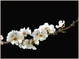 """Résultat de recherche d'images pour """"branche d'amandier en fleurs"""""""