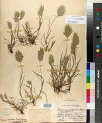 SEINet Portal Network - Bromus hordeaceus subsp. molliformis