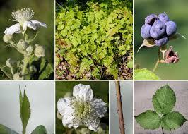 Rubus caesius L. - Portale della Flora di Roma