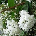Arbustes persistant a fleurs