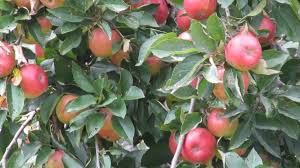 Apple tree FALLAWATER