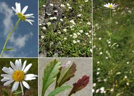 Leucanthemum heterophyllum (Willd.) DC. - Sistema informativo ...