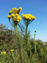 Gold-Aster – Wikipedia