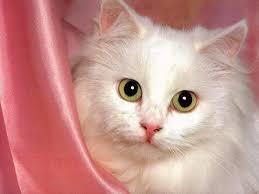 حقيقة خطورة تربية القطط فى المنزل !!!