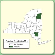 Oreojuncus trifidus - Species Page - NYFA: New York Flora Atlas