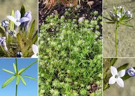 Asperula arvensis L. - Sistema informativo sulla flora vascolare dei ...