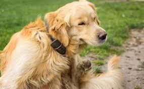 How Do I Know If My <b>Dog</b> Has <b>Fleas</b>? | Adams™