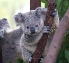 """Résultat de recherche d'images pour """"photos de koala qui est en train de manger des feuilles d'eucalyptus"""""""