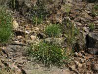 Plantago serpentina
