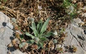 Plantago lagopus - Wikispecies